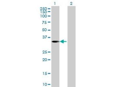 Mouse Anti-WIG1 Antibody