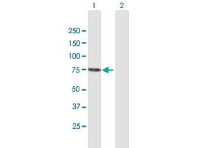 Mouse Anti-SENP2 Antibody