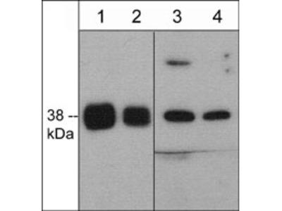 p38α MAP Kinase (a.a. 319-328) Antibody