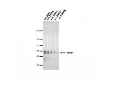 Mouse Anti-Apolipoprotein E4 Antibody