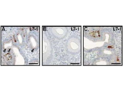 Rabbit Anti-RXFP1 Antibody