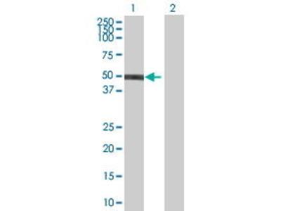 Mouse Anti-ZNF71 Antibody