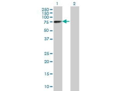 Mouse Anti-CRNN Antibody