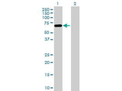 Mouse Anti-PLAT Antibody
