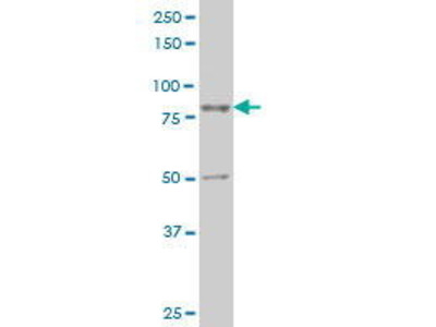 Mouse Anti-TTF2 Antibody
