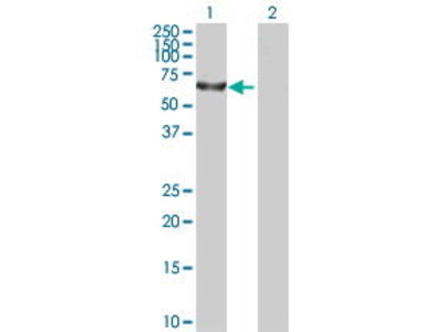 Mouse Anti-TBC1D19 Antibody