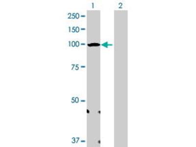 Mouse Anti-URG4 Antibody
