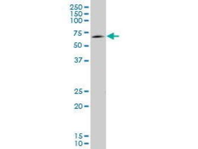 Mouse Anti-EOMES Antibody