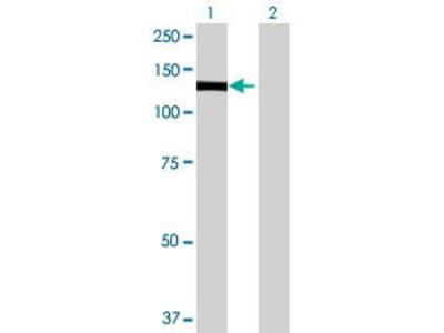 Mouse Anti-PLEKHG2 Antibody