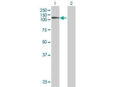 Mouse Anti-PTPN12 Antibody
