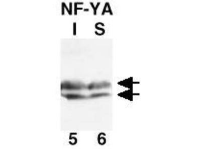 NF-Y Antibody
