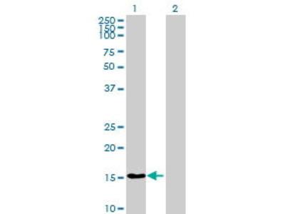 Mouse Anti-LOC130502 Antibody