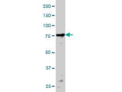 Mouse Anti-PRKCA Antibody