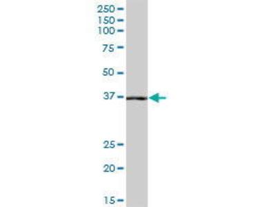 Mouse Anti-NANS Antibody