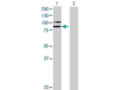 Mouse Anti-CPXM1 Antibody