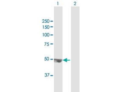 Mouse Anti-TRMT12 Antibody