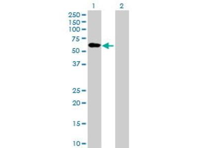 Mouse Anti-ENPP4 Antibody