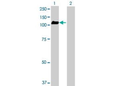 Mouse Anti-GPRASP2 Antibody