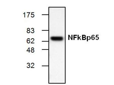 NFkB p65 Antibody (Clone 2A12A7)
