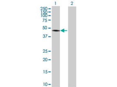 Mouse Anti-TRIM60 Antibody