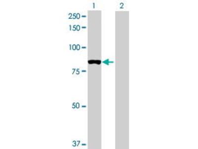 Mouse Anti-TRMT1 Antibody