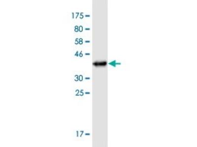 Mouse Anti-CHD8 Antibody