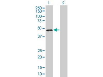 Mouse Anti-ACTR1B Antibody
