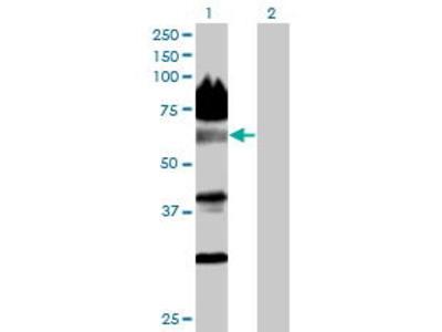Mouse Anti-BTBD14A Antibody