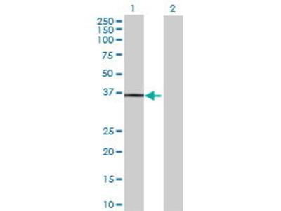 Mouse Anti-TRUB2 Antibody