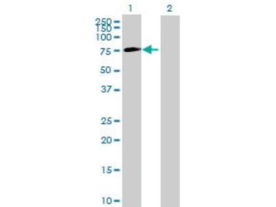Mouse Anti-SLC35F5 Antibody