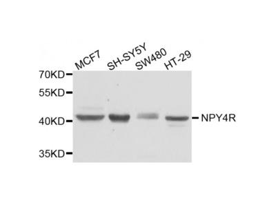 Anti-NPY4R antibody
