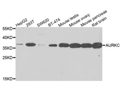 Anti-AURKC antibody (STJ110239)