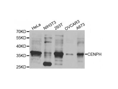 Anti-CENPH antibody