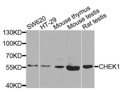Anti-Chk1 antibody (STJ29967)