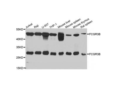 Anti-FCGR3B antibody