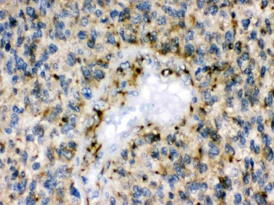 Anti-Eph Receptor B1 Picoband Antibody