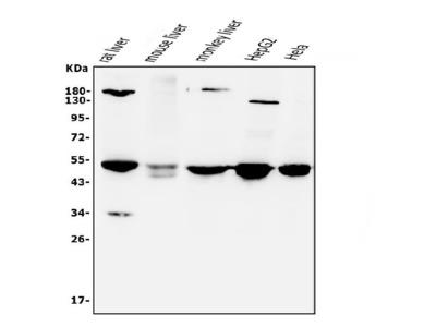 Anti-CYP7A1 Antibody