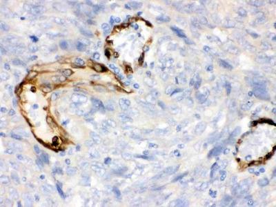 Anti-Indoleamine 2, 3-dioxygenase/IDO1 Picoband Antibody
