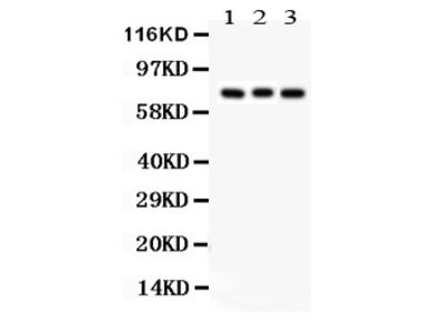 Anti-Apg7/ATG7 Picoband Antibody