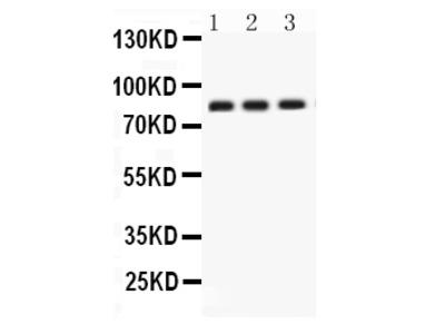Anti-Apolipoprotein J/CLU Picoband Antibody