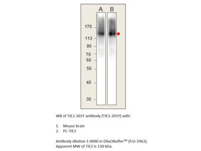 TIE2 Antibody