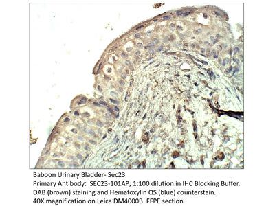 SEC23 Antibody