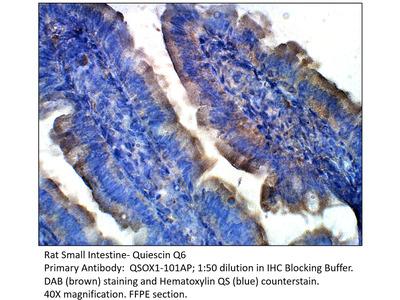 Quiescin Q6 Antibody