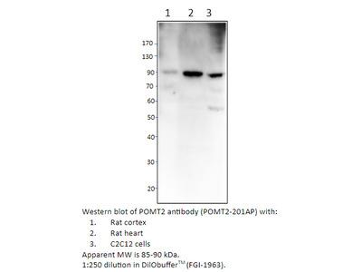 POMT2 Antibody