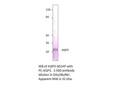 Aquaporin 3 Positive Control