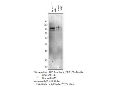 PTIP Antibody