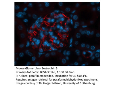 Bestrophin 3 Antibody