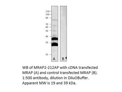 MRAP2 Antibody