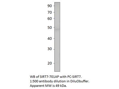 SIRT7 Antibody Positve Control