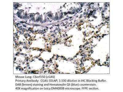 C6orf150 Antibody